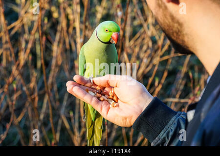 Man hand feeding rose-ringed parakeet in St James's Park, London England United Kingdom UK - Stock Photo