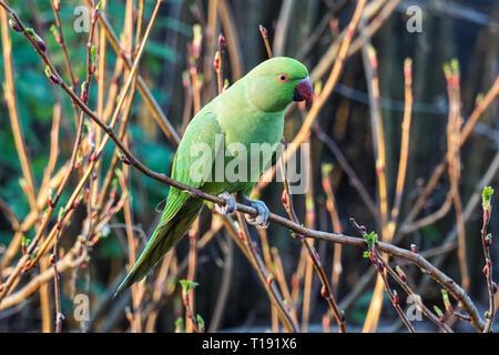Rose-ringed parakeet perching on a bush - Stock Photo