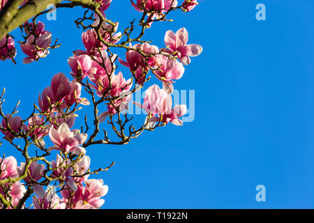 Full lilac blossoms of saucer magnolia aka Tulip tree against deep blue sky in late March - Stock Photo