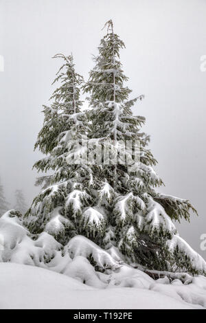 Two pine trees huddle close to each other and are covered in deep pure white snow - Stock Photo