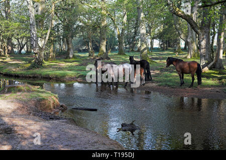 New Forest pony by the Ober Water stream at Ober Corner near Brockenhurst New Forest National Park Hampshire England - Stock Photo