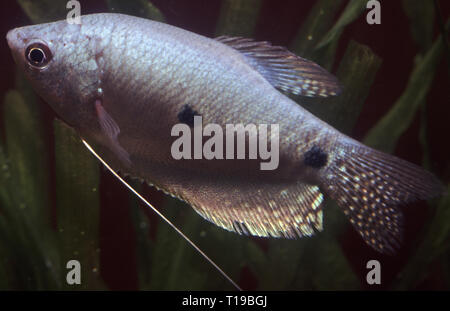 Three-spot or Blue gourami (Trichogaster trichopterus sumatranus) - Stock Photo