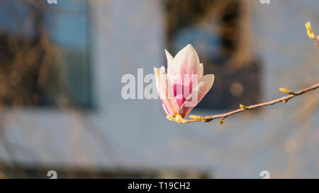 Closeup of magnolia flowers in early spring - Stock Photo