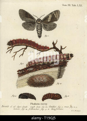 Goatmoth, Cossus cossus. Phalaena cossus. Handcoloured copperplate engraving by Johann Carl Bock from Eugenius Johann Christoph Esper's Die Schmetterlinge in Abbildungen nach der Natur, Erlangen, 1786. - Stock Photo