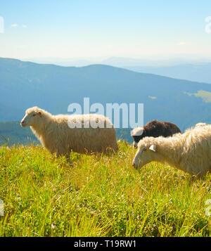 Herd of sheeps grazing on top of mountains. Carpathians, Ukraine - Stock Photo