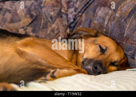 Sleepy dog on couch cuddling - Stock Photo