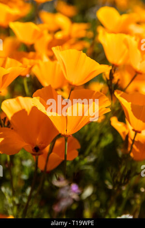 CALIFORINA POPPIES (Eschscholzia californica) cover the hillsides during a super bloom near LAKE ELSINORE, CALIFORNIA - Stock Photo