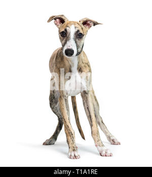 Whippet, English Whippet, Snap dog in front of white background - Stock Photo