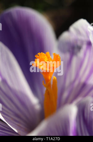 Extreme close up image of a bright orange stigma at the centre of a purple and white striped Crocus flower. Lit by the early morning sun. - Stock Photo