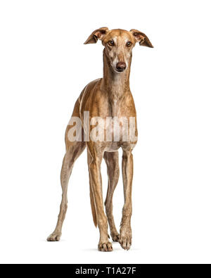 Spanish greyhound, 6 years old, in front of white background - Stock Photo