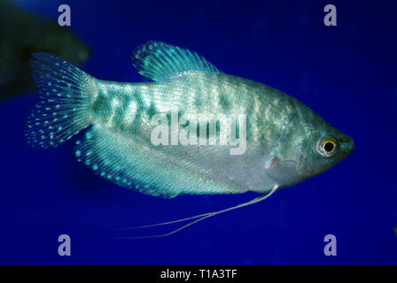 Three-spot or Blue gourami (Trichopodus trichopterus, formerly Trichogaster), Cosby var. - Stock Photo