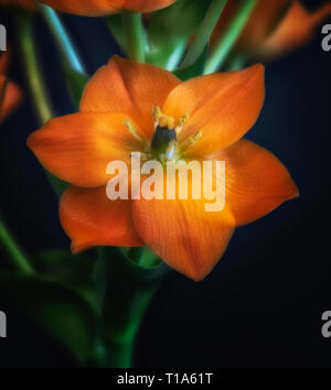 Fine art still life surrealistic colorful floral macro of a single isolated orange Star-of-Bethlehem / ornithogalum flower blossom on a green stem - Stock Photo