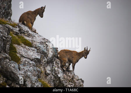 two young alpine ibex (Capra ibex), also known as the steinbock or bouquetin, at Hagengebirge, Berchtesgaden national park, Germany - Stock Photo