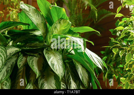 Beautiful flower with green sprawling leaves. Flowers in the interior. Selective focus. - Stock Photo