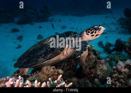 Turtle in the red sea near safaga in egypt - Stock Photo