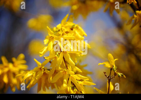 Yellow flowering forsythia in spring at Easter - Stock Photo