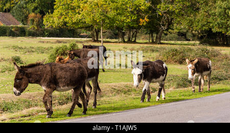 Donkeys on the move and walking down the road in National Park New Forest. - Stock Photo
