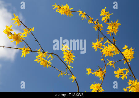A beautiful and bright yellow Forsythia plant in full bloom in a garden in Norfolk, UK, during early spring with a clear blue sky. AKA an Easter Tree. - Stock Photo