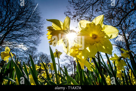 Bolton, Lancashire, UK. 25th March, 2019. Glorious Spring sunshine in Queen's Park, Bolton, Lancashire. A perfect start to the week as blue skies and warm sunshine are expected to continue until the weekend in the North West of England. Daffodils bask in the sunshine under clear blue skies in the park. Picture by Credit: Paul Heyes/Alamy Live News - Stock Photo