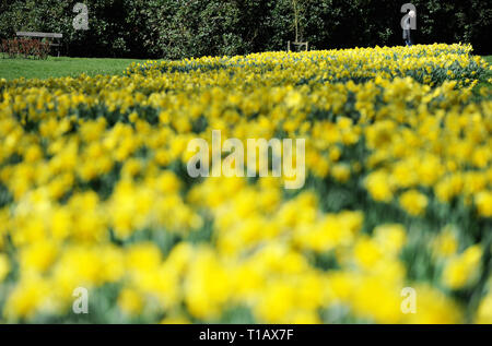 Bolton, Lancashire, UK. 25th March, 2019. Glorious Spring sunshine in Queen's Park, Bolton, Lancashire. A perfect start to the week as blue skies and warm sunshine are expected to continue until the weekend in the North West of England. A man walks past a golden crop of daffodils in the park. Picture by Credit: Paul Heyes/Alamy Live News - Stock Photo