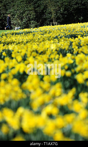 Bolton, Lancashire, UK. 25th March, 2019. Glorious Spring sunshine in Queen's Park, Bolton, Lancashire. A perfect start to the week as blue skies and warm sunshine are expected to continue until the weekend in the North West of England. A woman walks her dog past a golden crop of daffodils in the park. Picture by Credit: Paul Heyes/Alamy Live News - Stock Photo