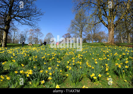 Bolton, Lancashire, UK. 25th March, 2019. Glorious Spring sunshine in Queen's Park, Bolton, Lancashire. A perfect start to the week as blue skies and warm sunshine are expected to continue until the weekend in the North West of England. Walkers pass by the golden crop of daffodils in the park under blue skies. Picture by Credit: Paul Heyes/Alamy Live News - Stock Photo