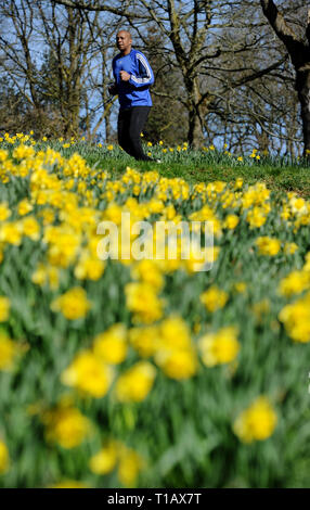Bolton, Lancashire, UK. 25th March, 2019. Glorious Spring sunshine in Queen's Park, Bolton, Lancashire. A perfect start to the week as blue skies and warm sunshine are expected to continue until the weekend in the North West of England. A man runs past a golden crop of daffodils in the park. Picture by Credit: Paul Heyes/Alamy Live News - Stock Photo