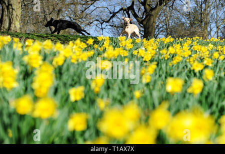 Bolton, Lancashire, UK. 25th March, 2019. Glorious Spring sunshine in Queen's Park, Bolton, Lancashire. A perfect start to the week as blue skies and warm sunshine are expected to continue until the weekend in the North West of England. A pair of dogs run past a golden crop of daffodils in the park. Picture by Credit: Paul Heyes/Alamy Live News - Stock Photo