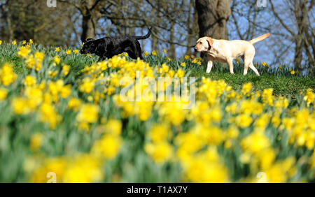 Bolton, Lancashire, UK. 25th March, 2019. Glorious Spring sunshine in Queen's Park, Bolton, Lancashire. A perfect start to the week as blue skies and warm sunshine are expected to continue until the weekend in the North West of England. A pair of dogs walk past a golden crop of daffodils in the park. Picture by Credit: Paul Heyes/Alamy Live News - Stock Photo