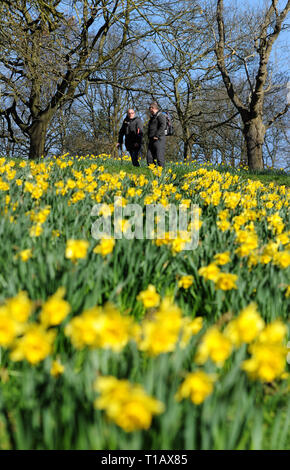 Bolton, Lancashire, UK. 25th March, 2019. Glorious Spring sunshine in Queen's Park, Bolton, Lancashire. A perfect start to the week as blue skies and warm sunshine are expected to continue until the weekend in the North West of England. Walkers pass by a golden crop of daffodils in the park. Picture by Credit: Paul Heyes/Alamy Live News - Stock Photo
