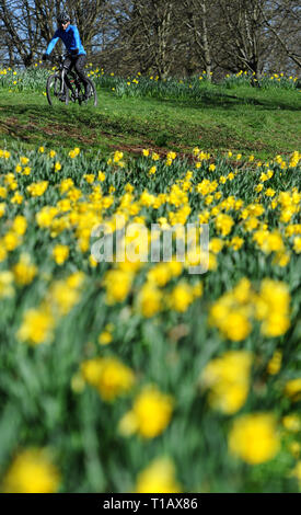 Bolton, Lancashire, UK. 25th March, 2019. Glorious Spring sunshine in Queen's Park, Bolton, Lancashire. A perfect start to the week as blue skies and warm sunshine are expected to continue until the weekend in the North West of England. A cyclist rides past a golden crop of daffodils in the park. Picture by Credit: Paul Heyes/Alamy Live News - Stock Photo