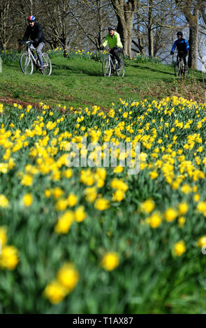 Bolton, Lancashire, UK. 25th March, 2019. Glorious Spring sunshine in Queen's Park, Bolton, Lancashire. A perfect start to the week as blue skies and warm sunshine are expected to continue until the weekend in the North West of England. A group of cyclists ride past a golden crop of daffodils in the park. Picture by Credit: Paul Heyes/Alamy Live News - Stock Photo