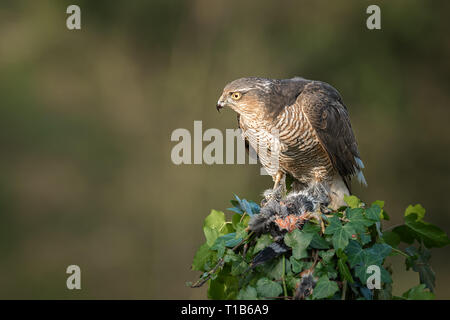 A female sparrowhawk Accipiter nisus perched on top of an ivy covered post. It is looking alert to the right - Stock Photo
