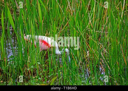 Roseate spoonbill (Platalea ajaja) searching for food. - Stock Photo
