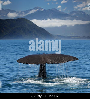 Sperm whale starts a deep dive at the coast near Kaikoura (New Zealand) - Stock Photo