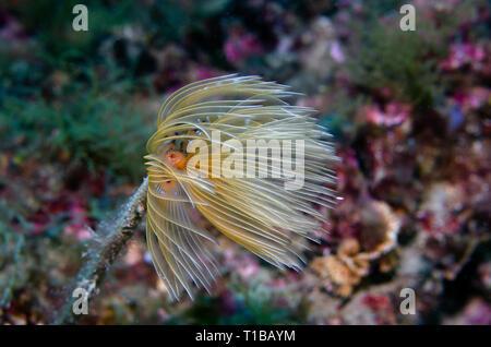 Mediterranean fan worm, Sabella  spallanzani, Sabellidae, Tor Paterno Marine Protected Area, Rome, Italy, Mediterranean Sea - Stock Photo