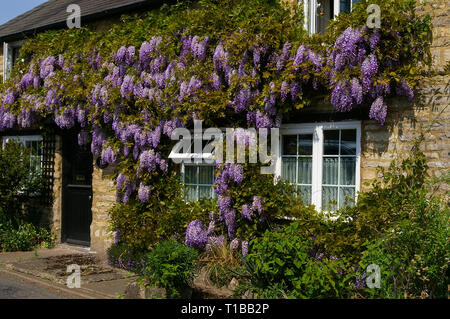 Purple flowering Wisteria covering the front of a house in the village of Cosgrove, Northamptonshire, UK - Stock Photo