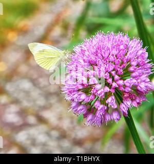 White butterfly on Agapanthus purple flower. Pieris brassicae - Stock Photo