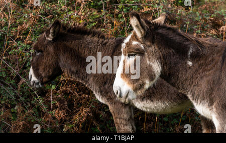 Two black and white donkeys in National Park New Forest, England. - Stock Photo