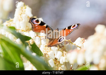 damaged butterfly wing with vein showing - European Peacock butterfly aglais io - UK - Stock Photo
