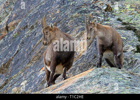 Alpine ibex (Capra ibex) female with young in rock face in winter in the Alps - Stock Photo