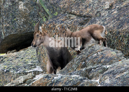 Alpine ibex (Capra ibex) female with young / kid in rock face in winter in the Gran Paradiso National Park, Italian Alps, Italy - Stock Photo