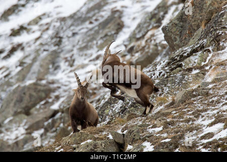 Two young Alpine ibex (Capra ibex) males fighting on mountain slope during the rut in winter, Gran Paradiso National Park, Italian Alps, Italy - Stock Photo