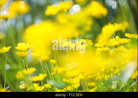 Leopard´s Bane (Doronicum orientale) flowers in the garden. Selective focus and shallow depth of field. - Stock Photo