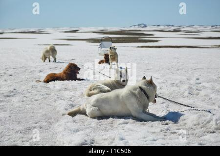Dog sledge having a stop - Stock Photo