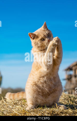 beautiful ginger cat sitting playing on the nature - Stock Photo