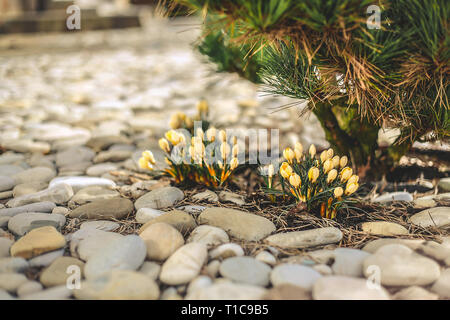 Snowdrops yellow blooms in early spring near a coniferous shrub - Stock Photo