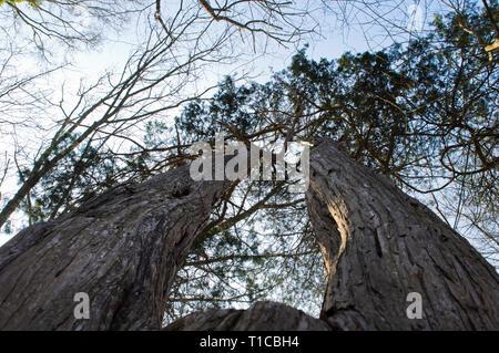 Zwei (Baum)Finger in den Himmel - Stock Photo