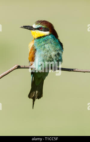 Male  European bee-eater, Latin name Merops apiaster, perched on a branch in warm lighting with dirt on its beak from digging out a nest hole - Stock Photo