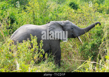 African elephant (Loxodonta Africana) foraging by side of track in Ishasha Sector of Queen Elizabeth National Park in South West Uganda, East Africa - Stock Photo